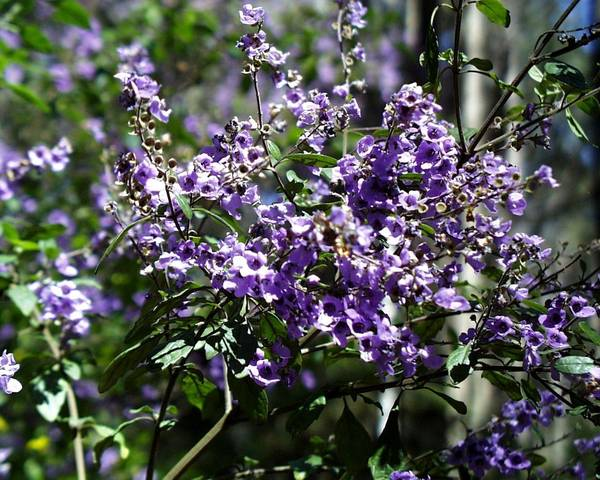 A picture of a Prostanthera