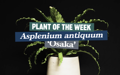 Plant of the week: Asplenium antiquum 'Osaka'