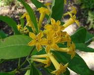 A yellow Cestrum flower with green leaves