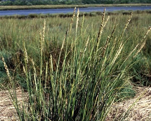 A picture of a Spartina grass