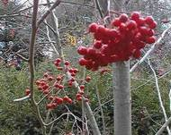A photo of Japanese Rowan 'Embley'