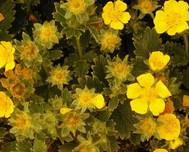 A photo of Large Flowered Cinquefoil