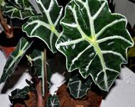 A close up of an Alocasia x amazonica 'Polly' plant