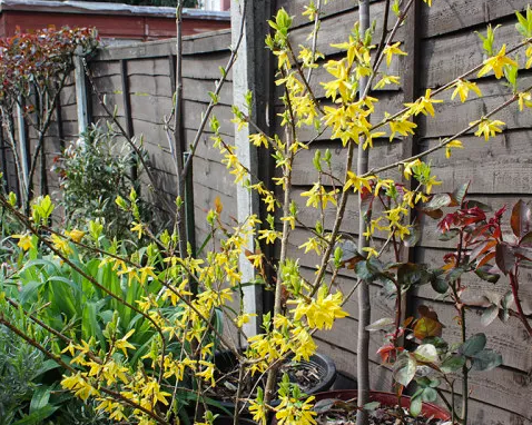 A picture of a Forsythia 'Minigold'