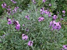 A close up of some purple Erysimum 'Bowles Mauve' flowers and green foliage