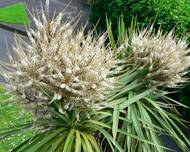 Cabbage tree Cordyline australis