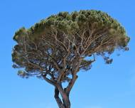 A photo of Stone Pine
