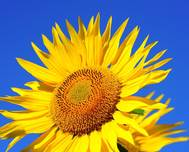 A photo of Sunflower