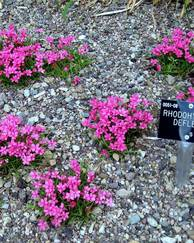A photo of Rhodohypoxis