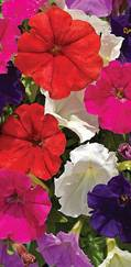 A photo of Petunia 'Picobella'