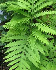 A photo of Sensitive fern