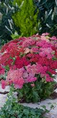 A photo of Achillea millefolium 'Summer Berries Mixed'