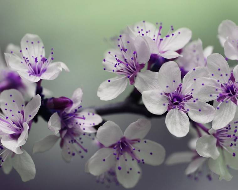 Beautiful white and purple blossom