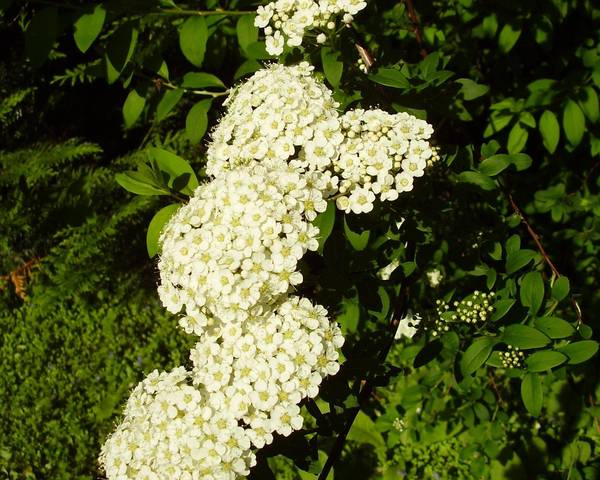 A picture of a Snowmound spiraea