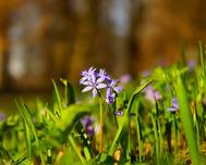 A photo of Alpine Squill