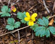 A photo of Viola sheltonii