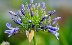 A photo of African Lily