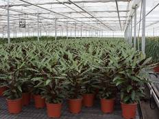 Greenhouse filled with Calathea rufibarba