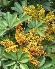 A photo of Dwarf Umbrella Tree