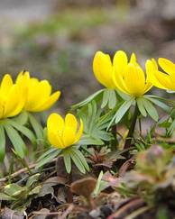 A photo of Winter Aconite