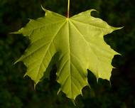 A photo of Norway Maple