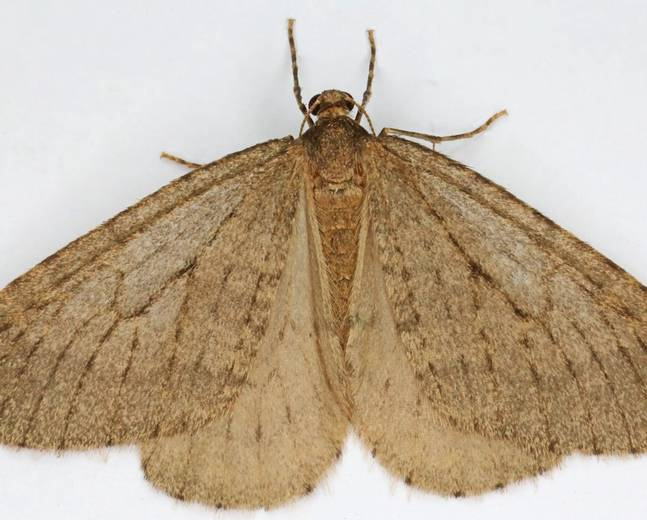 A male Operophtera brumata Winter Moth on a white surface