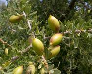 Argania spinosa tree