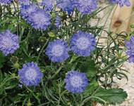 A photo of Pincushion Flower