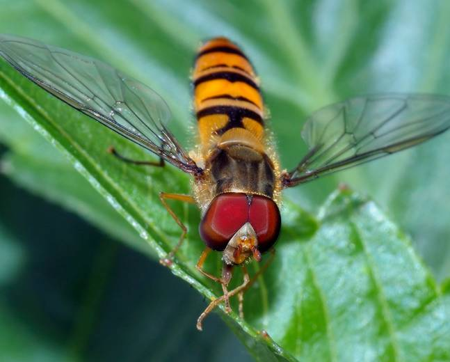 A macro shot of a Marmalade Hoverfly Episyrphus balteatus perched on a leaf