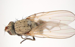 A photo of Onion Fly