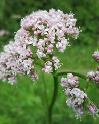 A photo of Common Valerian