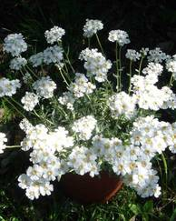 A photo of Balkan Yarrow