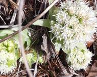 A photo of Petasites albus