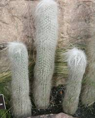 A photo of Old-Man Cactus