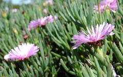 A photo of Lampranthus