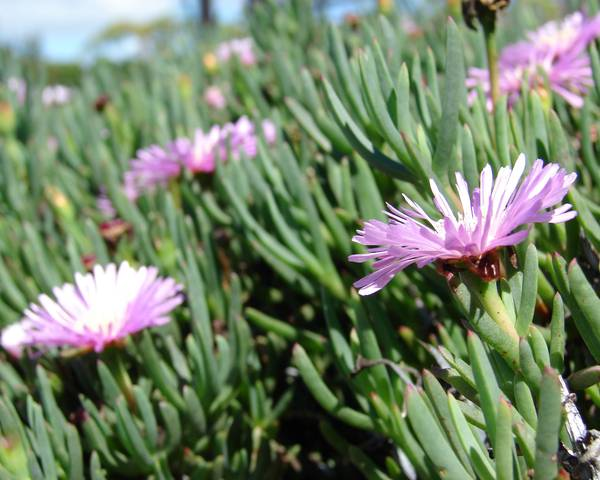 A picture of a Ice Plant