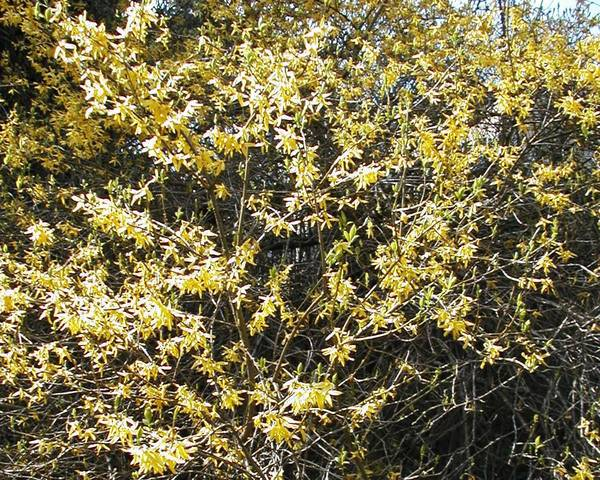 A picture of a Forsythia