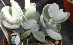 A photo of Adromischus