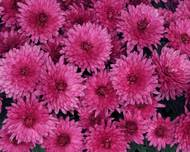 A photo of Chrysanthemum 'Poppins'