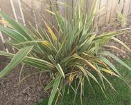 A photo of New Zealand Flax