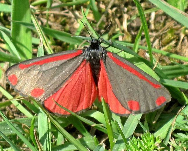 A red black cinnabar moth Tyria jacobaeae insect on some grass