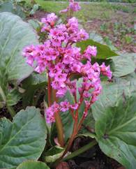 A photo of Heart-Leaf Bergenia