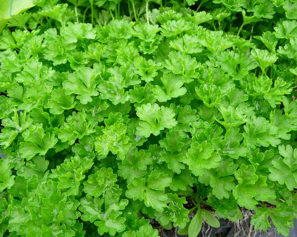 A picture of a Parsley