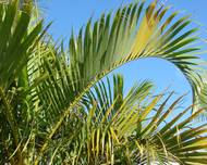 A photo of Areca Palm