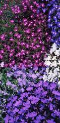 A photo of Lobelia 'Strings of Pearls Mix'