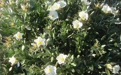 A photo of Shrubby Bindweed