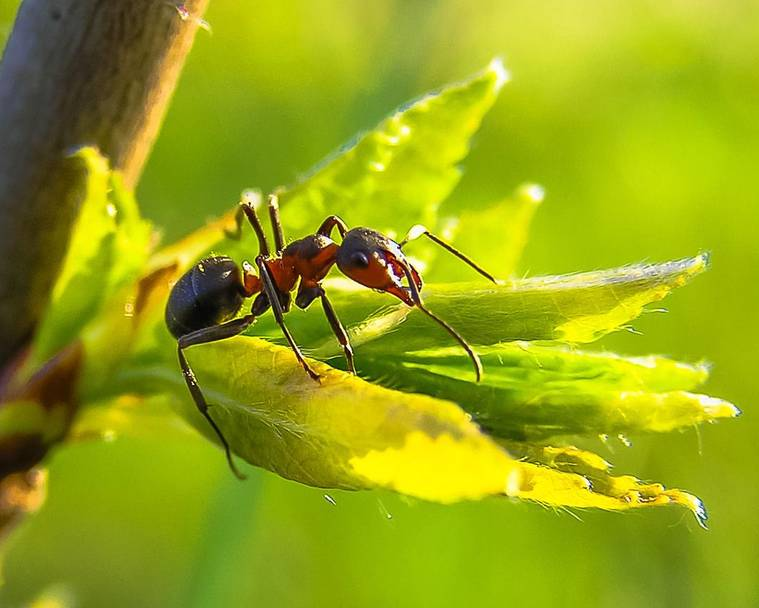 A close up of a A red ant on a new leaf bud