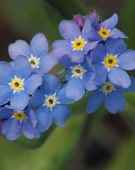 A photo of Forget-Me-Nots