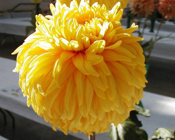 A picture of a Chrysanthemum