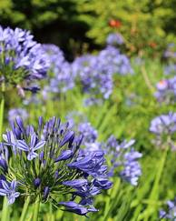 A photo of Common Agapanthus